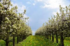 Les pommiers en fleurs (Croc'odile67) Tags: nikon d3300 sigma contemporary 18200dcoshsmc paysage landscape nature arbres trees fleurs flowers floraison printemps spring fruhling