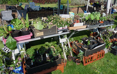 April 13th, 2019 Plants galore at Bean Pole Day (karenblakeman) Tags: caversham uk cavershamcourtgardens beanpoleday 2019 2019pad april plants seedlings reading berkshire readingtreewardens