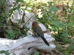 Unidentified estrildid finch in Masai Mara (Animal People Forum) Tags: bird finch birds waxbill bluebill silverbill mannikin munia masaimara maasaimara kenya africa