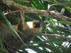 Sloth (Bruja Camilla) Tags: sloth animals wildlife costarica manuelantonio