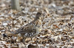 Celebrity Grouse (hd.niel) Tags: ruffedgrouse fowl bird nature wildlife photography kingston ontario nikon720080400 camouflaged gamebird interaction behavioural