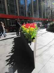 Spring Flowers Yellow and Red Tulips Wedge Shaped Planter 6903 (Brechtbug) Tags: spring flowers yellow red tulips springtime floral display wedge shaped sidewalk planter 50th street looking towards sixth avenue 6th ave nyc 2019 new york city 04242019 flower happy post easter holiday