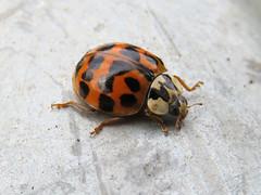 Harlequin ladybird, Newbiggin Wood, 16 April 19 (gillean55) Tags: canon powershot sx60 hs superzoom bridge camera north cumbria carlisle newbigginwood coleoptera coccinellidae harmoniaaxyridis harlequin ladybird