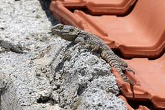 Starred Agama - Laudakia stellio (Roger Wasley) Tags: starred agama laudakiastellio lizard reptile samos greek island greece