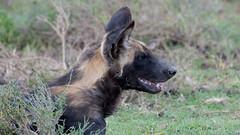 African Wild Dog (Mark Vukovich) Tags: african wild dog canine mammal tanzania painted wolf ndutu serengeti national park