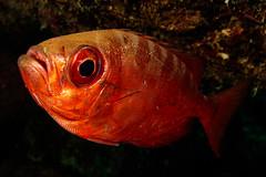 Red! (Gérard & Beth) Tags: bonaire caribbean netherlandsantilles diving nauticam ocean reef scuba sea underwater water fish glasseye snapper priacanthus cruentatus macro 60mm grumpy scales mouth shiny red
