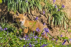 Fox Cub (cjf3 - f15tog) Tags: fox foxcub bluebells wildlife
