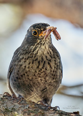 Mrs Blackbird (Red Gecko Photography) Tags: blackbird birds nature worms perched spain andalucia