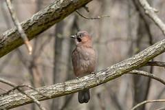 _DSC4777 (soderqvist.magdalena) Tags: eurasianjay nötskrika birds birdphotography bird nature naturephotography wildlife wildlifephotography