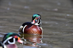 DSC_5561 Wood Duck (laurie.mccarty) Tags: bird duck woodduck water wildlife waterfowl nature