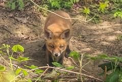 """""""Cub"""" (cjf3 - f15tog) Tags: fox foxcub bigears canon"""