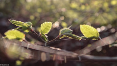 Spring light (Noemie.C Photo) Tags: spring printemps feuilles leaves leaf light lumiere arbre tree branche nature