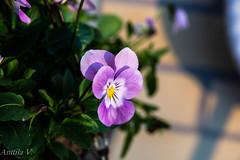 Macro1 (vilianttila90) Tags: nikon sigma d7100 1770 28 nature light macro flower