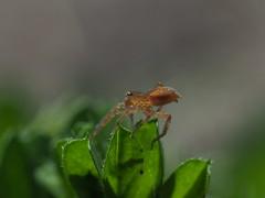 Small spider (Greg Peterson in Japan) Tags: spiders ritto recreation 栗東市 tsuji shiga 滋賀県 クモ wildlife japan 動物 shigaprefecture