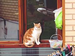 El gato de mi vecina (kirru11) Tags: gato ventana reflejos pinzas ropa cestillo cuerdas bolsas lámpara quel larioja españa kirru11 anaechebarria canonpowershot