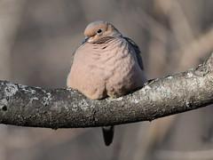 Mourning Dove (jansphotostream) Tags: bird mourningdove