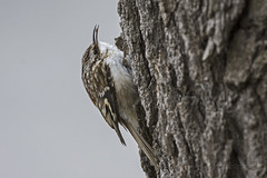 Gotcha (in Explore) (A.Joseph Images) Tags: brown browncreeper bird outdoor oiseux songbird canada creeper wildlife white trees bugs montreal quebec nature nikkor200500mmedf56vr nikon