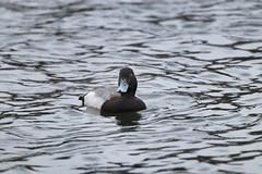 Male Greater Scaup (Aythya marila) on Oathill Lake Dartmouth Nova Scotia (internat) Tags: 2019 canada novascotia ns dartmouth oathilllake birds ducks greaterscaup aythyamarila eosm5 canonef100400mm