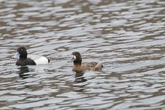 Male and Female Greater Scaup (Aythya marila) on Oathill Lake Dartmouth Nova Scotia (internat) Tags: 2019 canada novascotia ns dartmouth oathilllake birds ducks greaterscaup aythyamarila eosm5 canonef100400mm