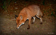 Red Fox (Vulpes vulpes) (Alan Woodgate) Tags: wild fox vulpes red uk