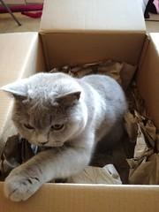 Mia, April 2019 (alljengi) Tags: mia eb box ebbox britishshorthair britishblueshorthair britishshorthaircat cat 2019