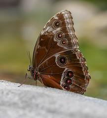 Morpho helenor peleides (da.da13) Tags: butterfly insect detail nature panasonic lumix dmcg80 olympus mzuiko ed 60mm f28 macro