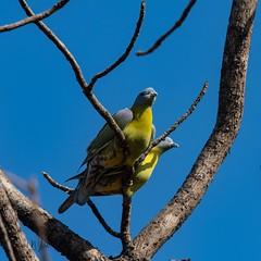 Yellow-footed green pigeon (iamfisheye) Tags: 300mm nikon naturetrek yellowleggedgreenpigeon d500 xqd february sassangir vr yellowfootedgreenpigeon f4 india treronphoenicoptera gujarat afs tc14iii 2019 raremammalsandbirdsofgujarat pf
