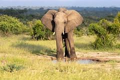 Eléphant (Le Méhauté Sébastien) Tags: afrique du sud south africa animaux sauvage éléphant african