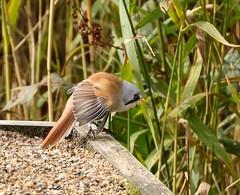 Bearded Tit Leighton Moss September 2018 (xnzwjoeu70) Tags: birds nature beardedtit rspbleightonmoss leightonmoss