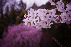 Light pink or vivid pink (U-ichiro1003) Tags: street snap sony rx100