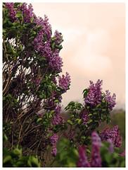 Lilas (LUDOVIC. R) Tags: jupiter9 85mm 12 lilas ludovic r micro 34