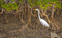 creatures of the mangroves - eastern great egret #1 (Fat Burns ☮) Tags: easterngreategret ardeamodesta waterbird bird australianbird fauna australianfauna nudgeebeach nikond500 nikon200500mmf56eedvr wildlife australianwildlife nature outdoors brisbane queensland australia egret whitebird mangroves treeroots trees mangrovetrees