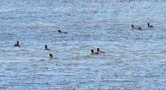 sea of coots (Cheryl Dunlop Molin) Tags: goosepond coot americancoot waterfowl