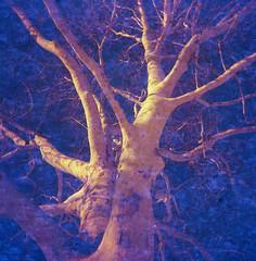 up (.grux.) Tags: holga120n fillm lomography redscale50200xr expiredfilm redscale 120 mediumformat 6x6 zonefocus plasticfantastic up tree bare branches sunlit sycamore park allangardens toronto