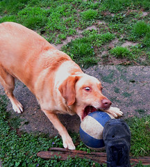 IMG_8877 (kennethkonica) Tags: yellowlab labrador daisy pet animaleyes animalplanet animal canonpowershot canon usa midwest america indiana indianapolis indy color mood fun hoosier random global canine playful eyes ball