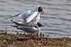 Black headed Gulls Mating 001 - sm