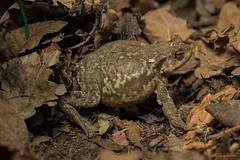 Le crapaud et la petite araignée rouge (guyju) Tags: crapaud toad