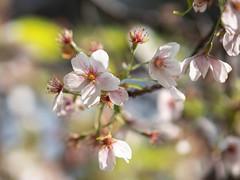 Blossom (Royal Mile) Tags: blossom flower spring tree season edinburgh scotland garden park mft bokeh