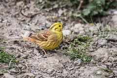 On bare earth (DavidHowarthAgain) Tags: oldmoor southyorkshire rspb nature april 2019 yellowhammer emberizacitrinella spring