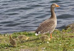 We are family (ArtGordon1) Tags: davegordon davidgordon daveartgordon davidagordon daveagordon artgordon1 april 2019 spring london england uk geese goose goslings