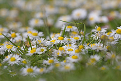 Daisy Daisy... (ArtGordon1) Tags: davegordon davidgordon daveartgordon davidagordon daveagordon artgordon1 april 2019 spring london england uk wildflowers daisy daisies petals waterworksnaturereserve