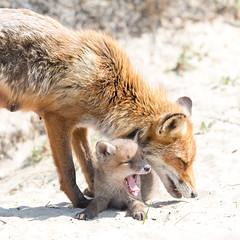 New born red fox! (Jambo53 ()) Tags: redfox rodevos netherlands coastalarea duingebied crobertkok renardroux nikond800 portrait portret mammal vulpesvulpes