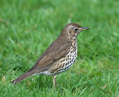 Song Thrush (howccp) Tags: songthrush turdusphilomelos birds bird britishbirds birdsofbritain avian nature wildlife