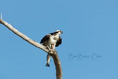 Osprey and Spotted Trout (Beve Brown-Clark) Tags: osprey spottedtrout wildlife nature bird birdofprey ©bevebrownclark florida usa