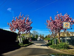 Whatever is not yours, let go of it. Your letting go it will be for your long-term happiness and benefit (Buddha) (RenateEurope) Tags: 2019 renateeurope iphoneography streetphotography cherryblossom kirschblüte nrw rheinland germany