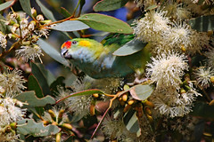 Purple-crowned Lorikeet (Uhlenhorst) Tags: 2012 australia australien plants pflanzen blossoms blüten animals tiere birds vögel travel reisen