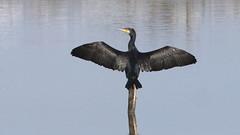 Corvo marinho - Phalacrocorax carbo - Cormorant (Jose Sousa) Tags: ave