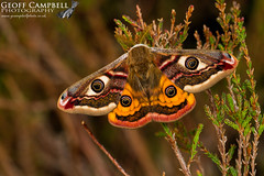 Emperor Moth (Saturnia pavonia) (gcampbellphoto) Tags: emperor moth saturnia pavonia insect invert nature wildlife north antrim ballycastle northern ireland gcampbellphoto macro animal