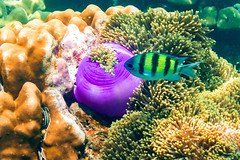 Under water (skweeky ツ) Tags: ko lipe thailand island underwater life fish aquatic sergeant major stripped yellow purple