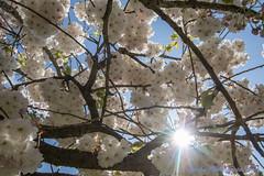 DN9A7814 (Josette Veltman) Tags: keukenhof lisse flowers dutch bloemen toeristisch canon nederland tulpen